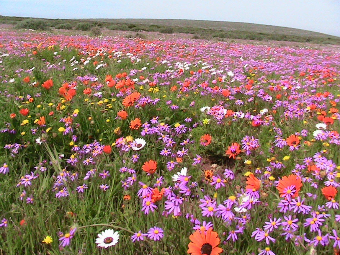 Cape spring wild flowers tour wold flowers of the west coast of cape town spring wildflowers mightylinksfo Image collections