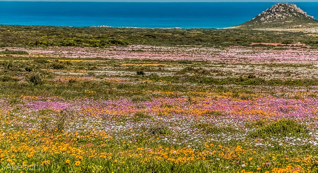 Wild flowers postberg Cape Town