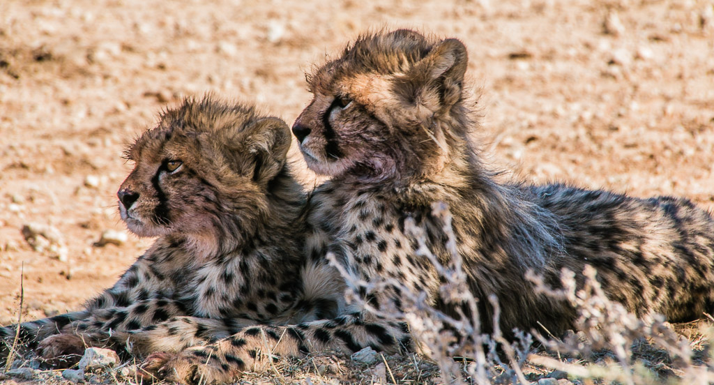 Kgalagadi cheetahs