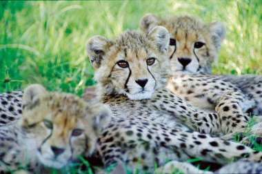 Cheetah cubs South Africa safari