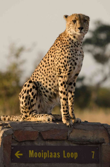 Cheetah sitting on mileage post in Kruger national Park Safari