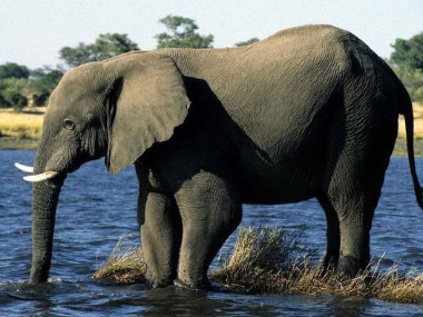 Chobe river elephant