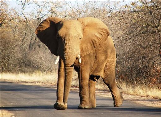 Elephant_in_Kruger_National Park Safari