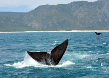 Hermanus whales Cape Town