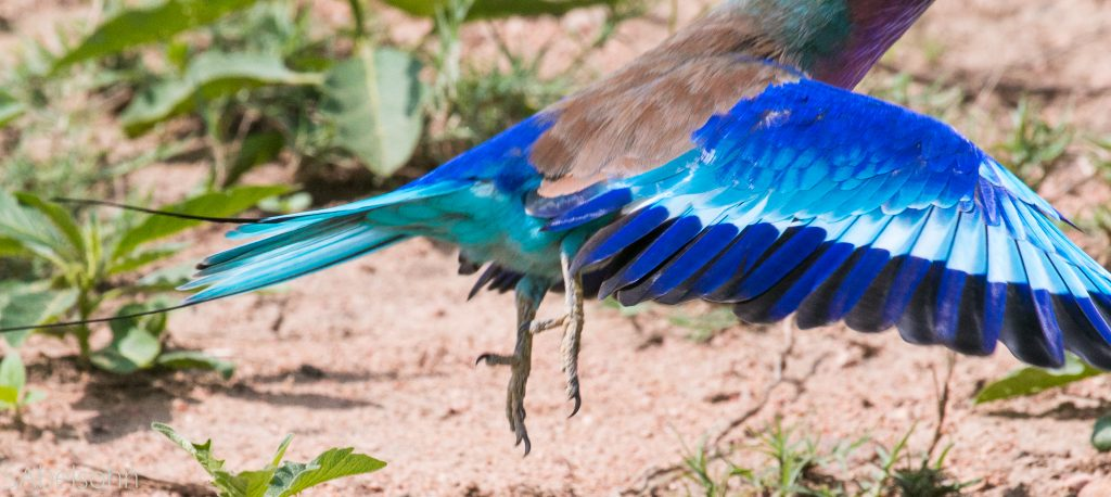 lilac breasted roller wings