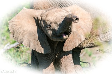 Baby elephant Kruger National Park safari