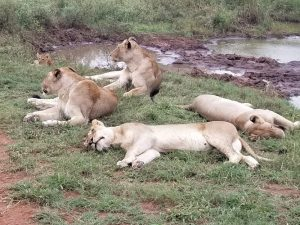 Lazy lions kruger national park
