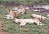 Lazy lions Kruger national Park safari