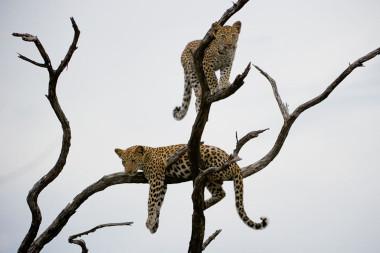Leopard family Africa safari