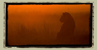 Lion selinda reserve Botswana Safari