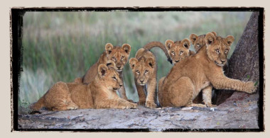 Lions Duba Plains Botswana Safari