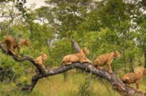 Lions singita  kruger safari
