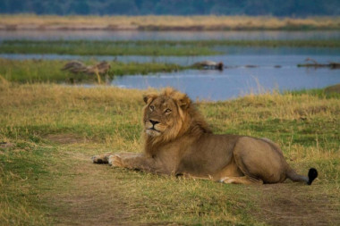 mana Pool lion Zimbabwe safari