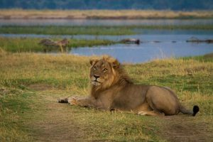 Mana Pools Lion Zimbabwe safari