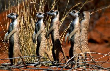 Meerkats Girafee South africa safari