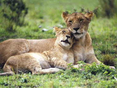 Savute  Lions