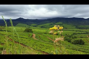 Venda tea plantation.
