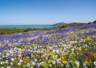 West-Coast-wild-flowers-Cape-Town.
