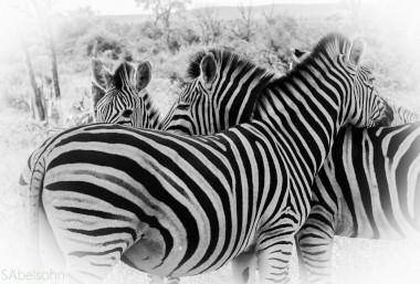 Zebras kruger National Park Safari