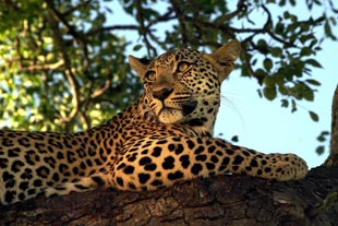 Leopard at Lumkimbi Lodge