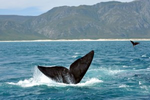 Cape Town Whales Hermanus