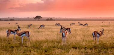 Kalahari springbok Botswana