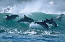 dolphins south africa
