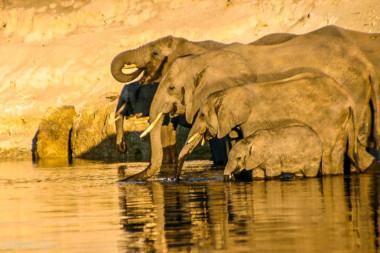 Elephant family Chobe Botswana