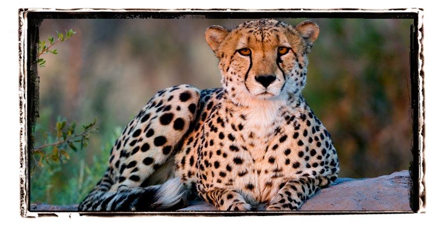 Leopard selinda reserve Botswana Safari