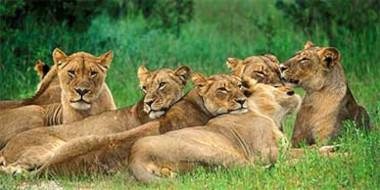 Hwange Safari Lions