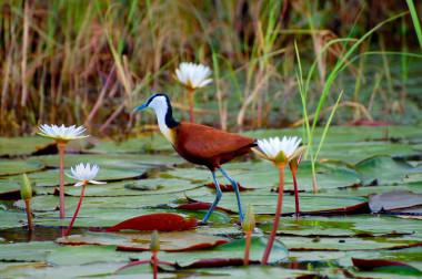 Jacana bird Okavango Delta