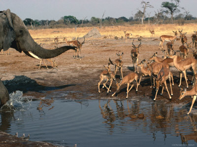 elephant savuti Botswana
