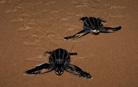 Thonga Beach Lodge leatherback