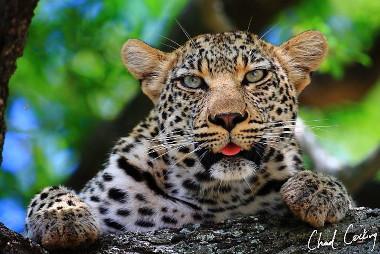 Leopard Motswari