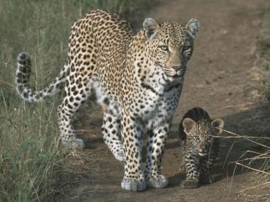 Leopard cub Ngala tented camp