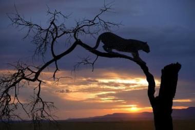 Leopard Savute