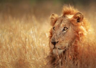 Lion kruger National Park Safari