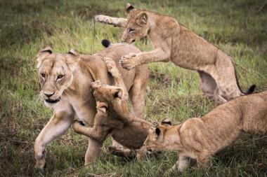 Mombo Botswana lions