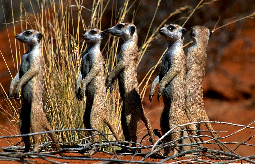 Suricates Kgalagadi Transfrontier Park