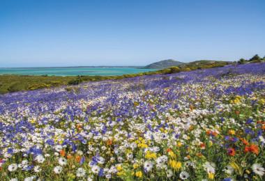 spring wildlfowers west coast south africa