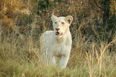 White Lion Timbivati South Africa Safari