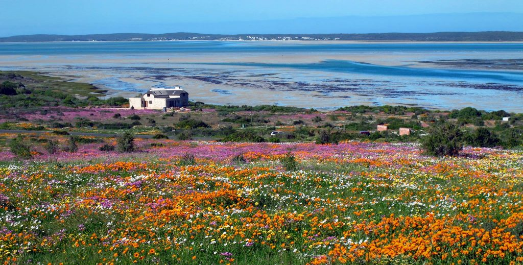 South Africa wild flowers Postberg Cape Town